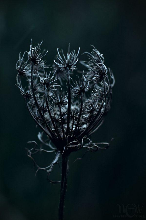 wild carrot flower nature dark monochrome
